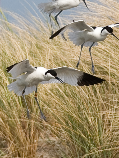 Das Bild zeigt den unteren, beringten Vogel 2008