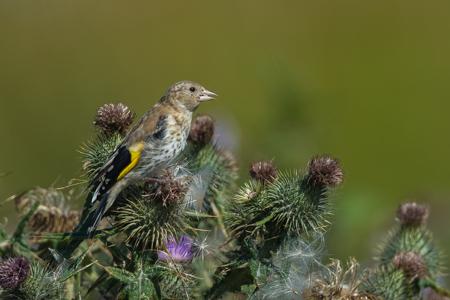 Das Bild zeigt ein Weibchen. Der Stieglitz wird oft auch Distelfink genannt.