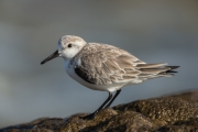 Sanderling in Costa Calma