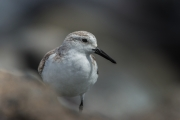 Sanderling in Rio Calma.